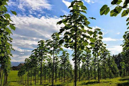 Photo of پالونیا : همه چیز درباره کاشت درخت پائولونیا (Paulownia)
